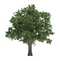 Tree Isolated Royalty Free Stock Photo - 32145495