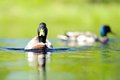 Duck At The Lake On A Sunny Summer Day Stock Images - 32147864