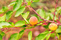 Ripe Apricots Growing On A Branch Royalty Free Stock Photos - 32158158