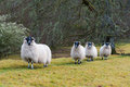 Sheep In A Row Stock Images - 32168834