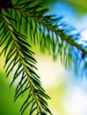 Fir Tree Stock Image - 32177021