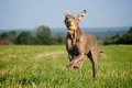 Weimaraner Pointer Running And Jumping After Catching The Ball Stock Images - 32205984