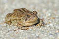 Toad Royalty Free Stock Photos - 32206868