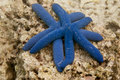 Two Blue Sea Stars Close Up On The Rock Background Royalty Free Stock Photo - 32210005