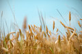 Wheat Field And Cereal Grain Against Blue Skies Stock Photos - 32215473