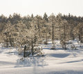 Frosty Pine Trees In Marsh Early In The Morning Royalty Free Stock Photo - 32234285
