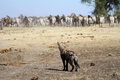 Spotted Hyena With Zebra Royalty Free Stock Image - 32235666