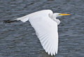 American Great Egret In Flight Over Lake Royalty Free Stock Photos - 32243768