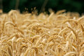 Field Of Wheat Stock Photography - 32247632
