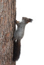Squirrel On A Tree Trunk Royalty Free Stock Photo - 32260155