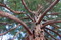 Branches And Trunk Of Sequoia Gigantea Stock Photography - 32260642