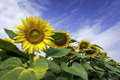 Sunflower Field, Close-up Royalty Free Stock Photo - 32260935