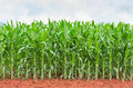 Corn Plantation In Thailand Royalty Free Stock Images - 32277589