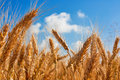 Ears Of Wheat Field Royalty Free Stock Photography - 32283637