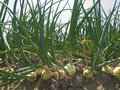 Onion Field Royalty Free Stock Photography - 32284457