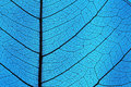 Leaf Ribs And Veins Stock Photos - 32289893