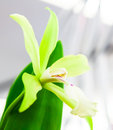 Green Orchid Stock Photography - 32295352