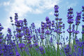 Lavender Flowers In Summer Royalty Free Stock Photography - 32340817