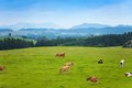 Many Cows On The Pasture Royalty Free Stock Image - 32353266