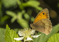 Meadow Brown Butterfly Royalty Free Stock Image - 32365256