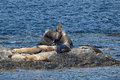 Sea Lions Seal On The Rocks Royalty Free Stock Photography - 32366267