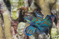 Mandarin Fish Royalty Free Stock Image - 32366396