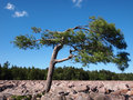 Pine Tree In Boulder Field Royalty Free Stock Image - 32372376