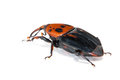 Palm Weevil Snout Beetle Stock Image - 32374191