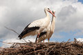 Storks On Their Nest Royalty Free Stock Photography - 32380007