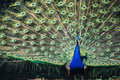 Details Of The Spread Tail Of A Peacock Stock Images - 32381424