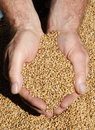 Freshly Harvested Wheat Royalty Free Stock Images - 3241839