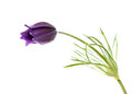 Pulsatilla Patens Royalty Free Stock Photography - 32401627