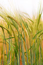Green & Gold Crop Field Stock Photography - 32424002