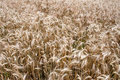 Rye Field Stock Photography - 32441842