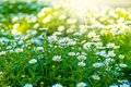 Chamomile Flowers Lit By Sunlight Royalty Free Stock Images - 32446549