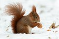Squirrel Cracking Nuts Royalty Free Stock Photos - 32449928