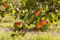 Fresh Apricots Stock Photography - 32451792