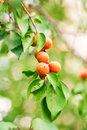 Ripe Apricots Growing On A Branch Royalty Free Stock Photos - 32468358
