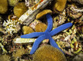 Bright Blue Star Fish And Sea Urchins On Reef, Indonesia Stock Photo - 32473130
