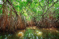 Thickets Of Mangrove Trees In The Tidal Zone. Sri Lanka Stock Photography - 32475712