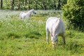 Two White Horses On Green Pasture Stock Photo - 32509560