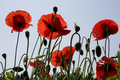 Translucent Poppies Royalty Free Stock Image - 32521196