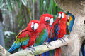 Parrots Stock Photography - 32538292