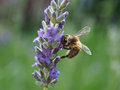 Bee On Lavender Royalty Free Stock Image - 32575746