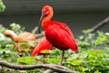 A Red Ibis Royalty Free Stock Photo - 32587505