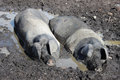 Two Pigs Wallow In A Mud Bath On A Hot Day. Stock Photo - 32605170
