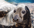 Grey Seal Stock Images - 32644834