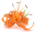 Tiger Lily Royalty Free Stock Images - 32649989