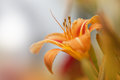 Orange Lily Royalty Free Stock Images - 32663799