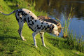 Curious Dalmation Explores The Waters Edge 1 Royalty Free Stock Photos - 32682088